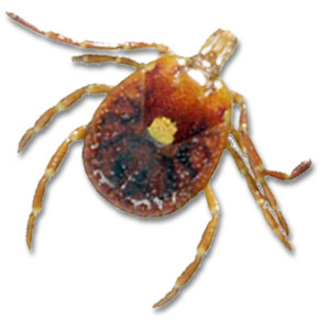 What Does A Female Dog Tick Look Like